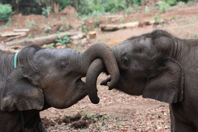 Elephants-born-in-stressful-conditions-might-age-faster-than-others