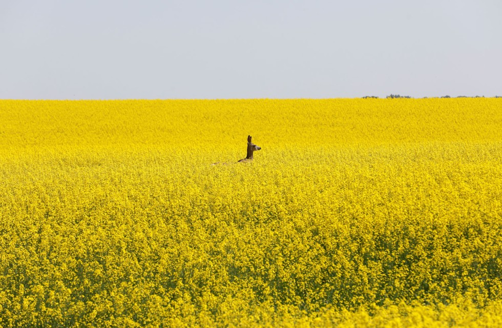 A deer feeds in a western Canadian canola field that is in full bloom before it will be harvested later this summer in rural Alberta
