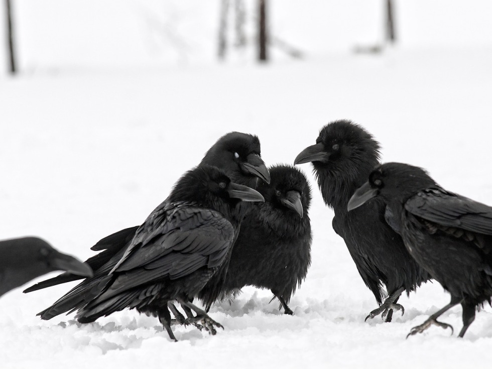 Group of ravens in snow